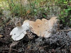 Albatrellus ovinusФото предоставлено галереей сайта Грибной мир